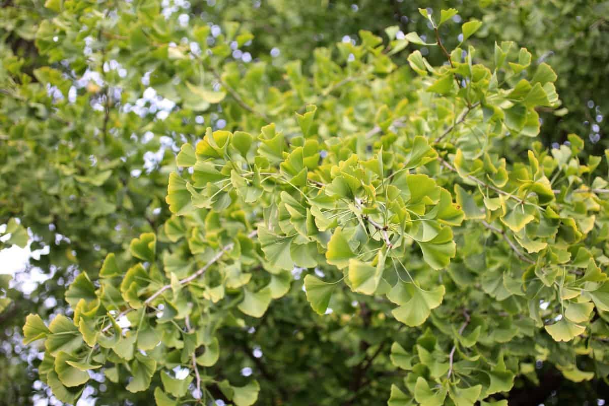 The maidenhair tree or gingko biloba has yellow foliage in fall.