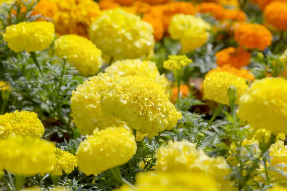 Marigolds have a long blooming season.
