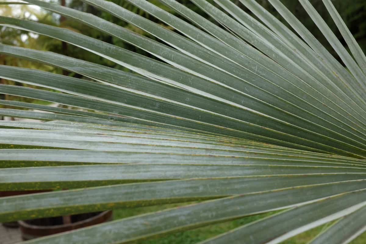 The Mexican blue palm is easily recognized for its blue leaves and yellow flowers.