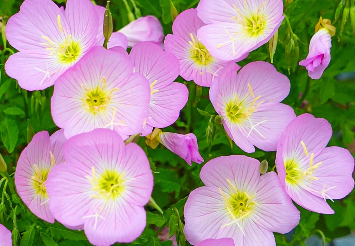 The pink flowers of the Mexican evening primrose bloom at night.