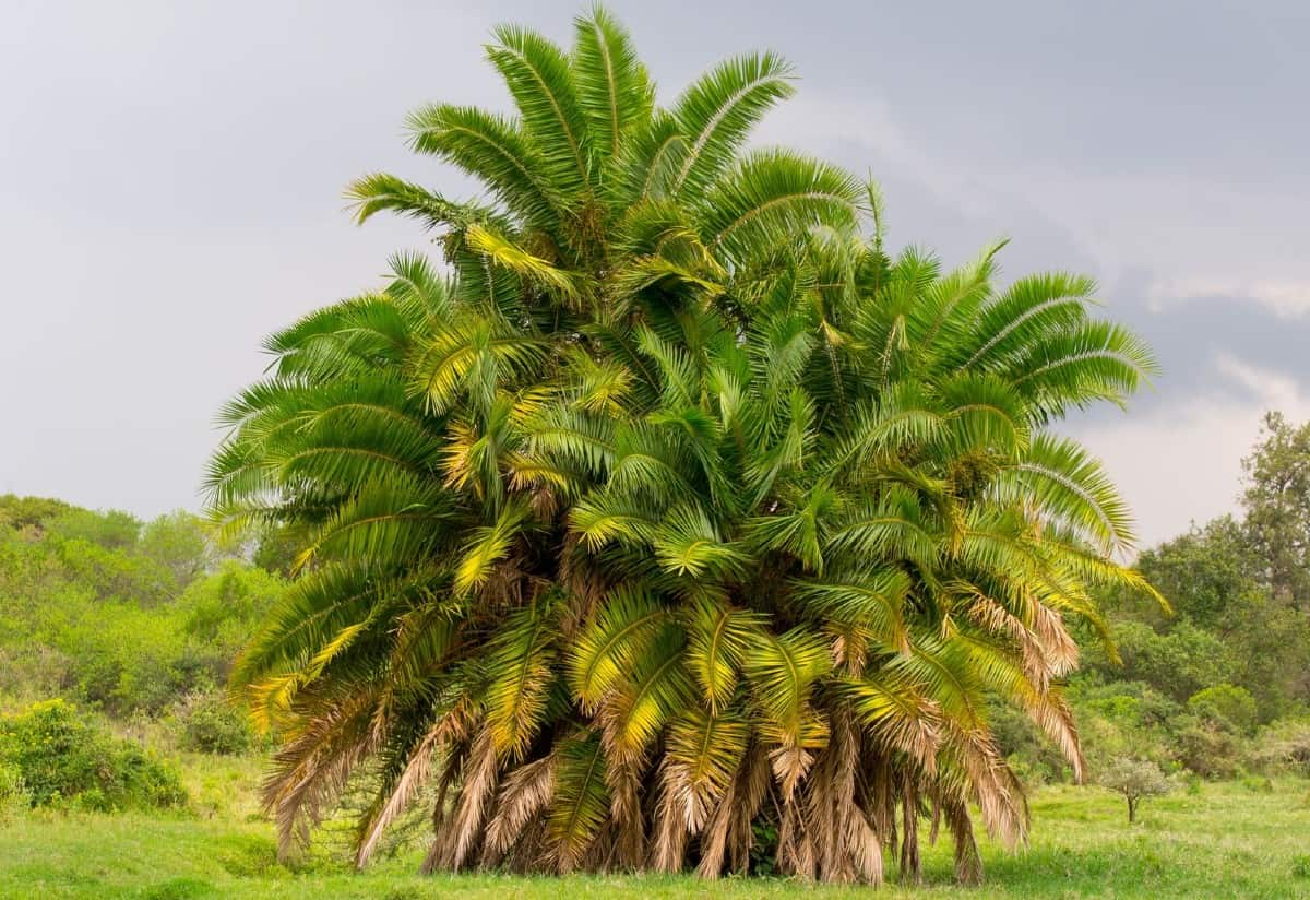 The Mexican fan palm is a fast grower.