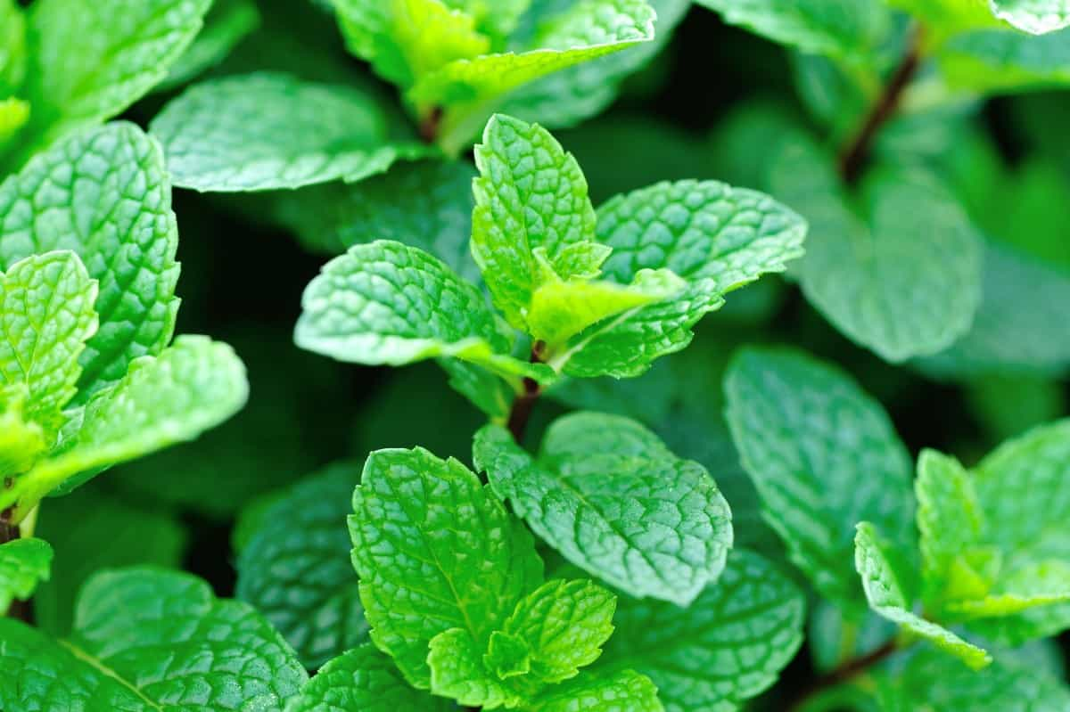 Mint is probably the most well-known herb.
