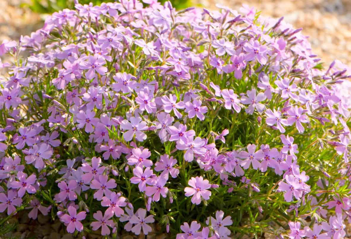 Moss phlox provides 4-season interest and color.