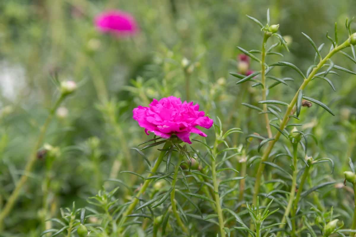 The moss rose is quite easy to grow.