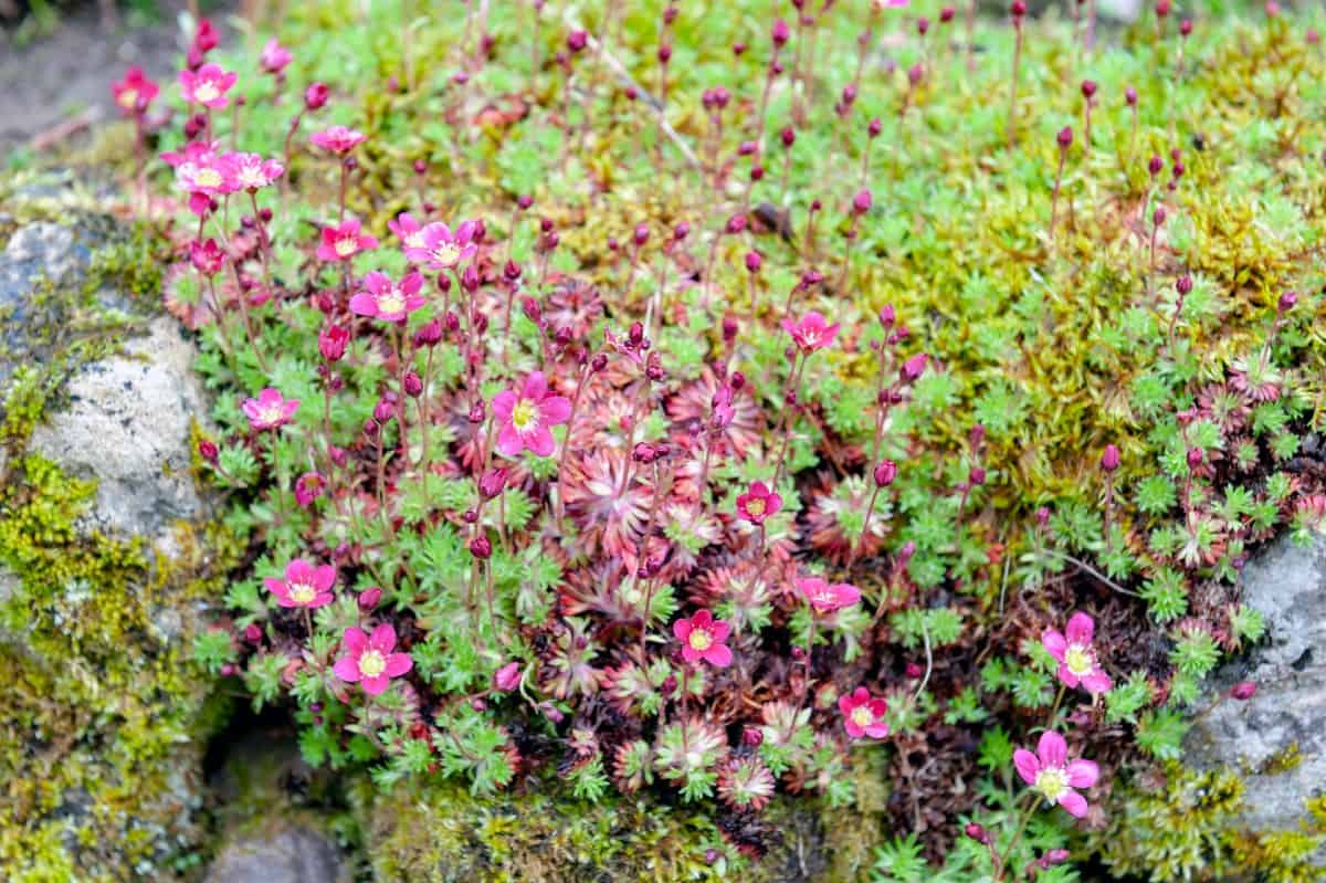 The flowers produced by mossy rockfoil are tiny.