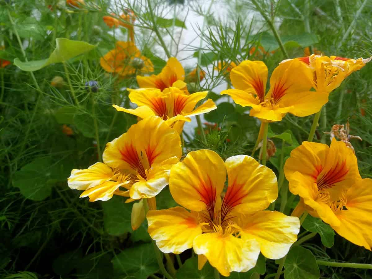 Nasturtiums thrive in poor soil and lack of water.