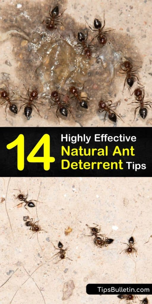 Learn how to deter ants from your home using natural ingredients and techniques. Make a homemade ant killer spray white with vinegar or peppermint oil for countertops and spread diatomaceous earth along entry points to the home. #natural #antdeterrent #homemade #deterrent #deter #ants