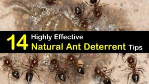 Natural Ant Deterrent titleimg1