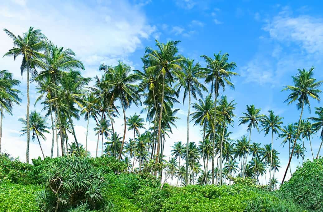 The needle palm has sharp spines on its stems so use care when handling.