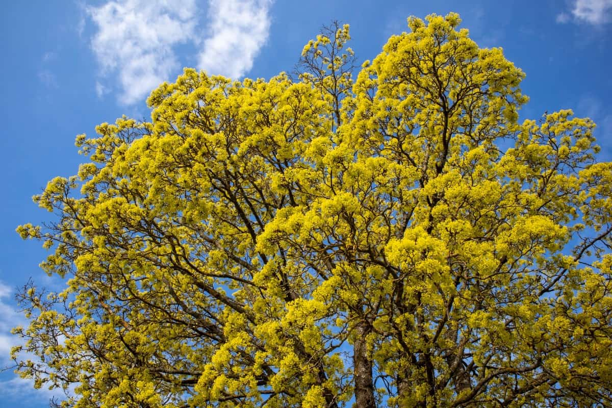 The Norway maple is disease-resistant, making it challenging to eradicate.