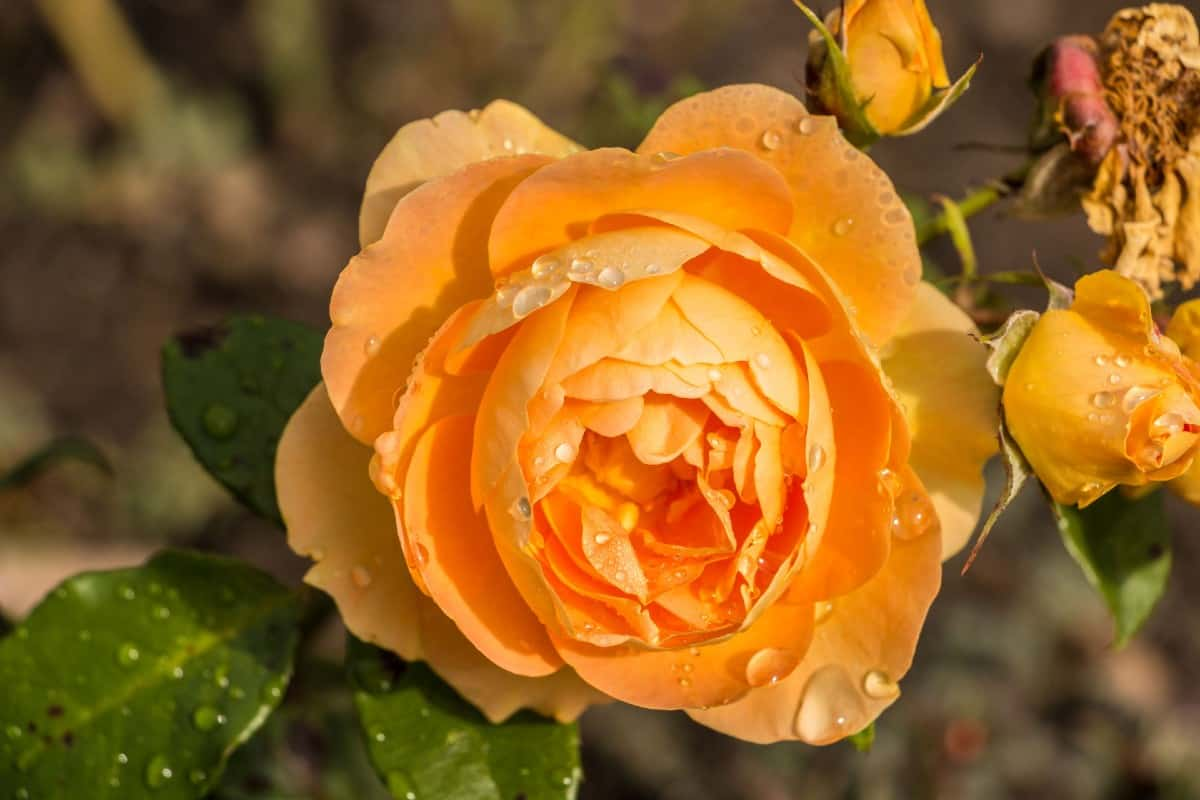 Orange freedom roses are perfect for edging a walkway.