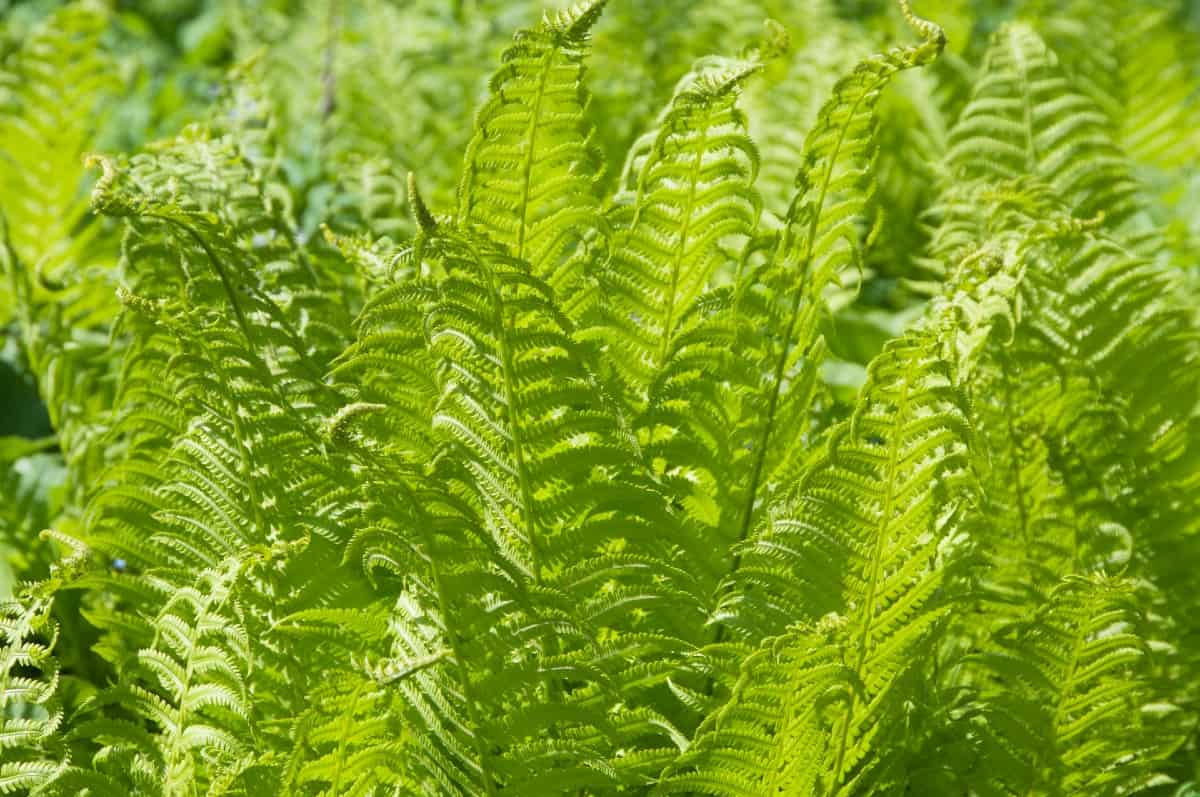 The ostrich fern thrives in all kinds of tough conditions.