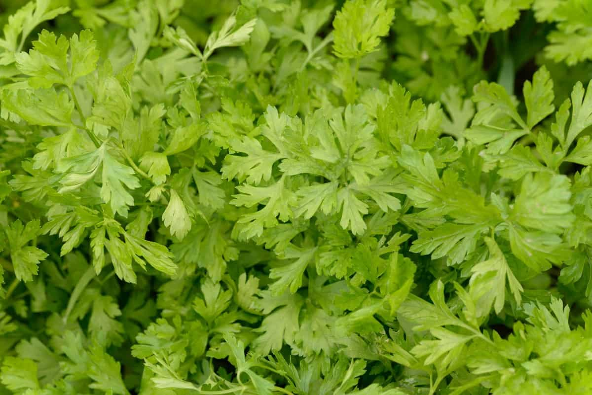 Parsley comes in both flat and curly types.