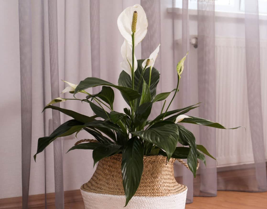 Peace lilies are well recognized for their air cleaning qualities.