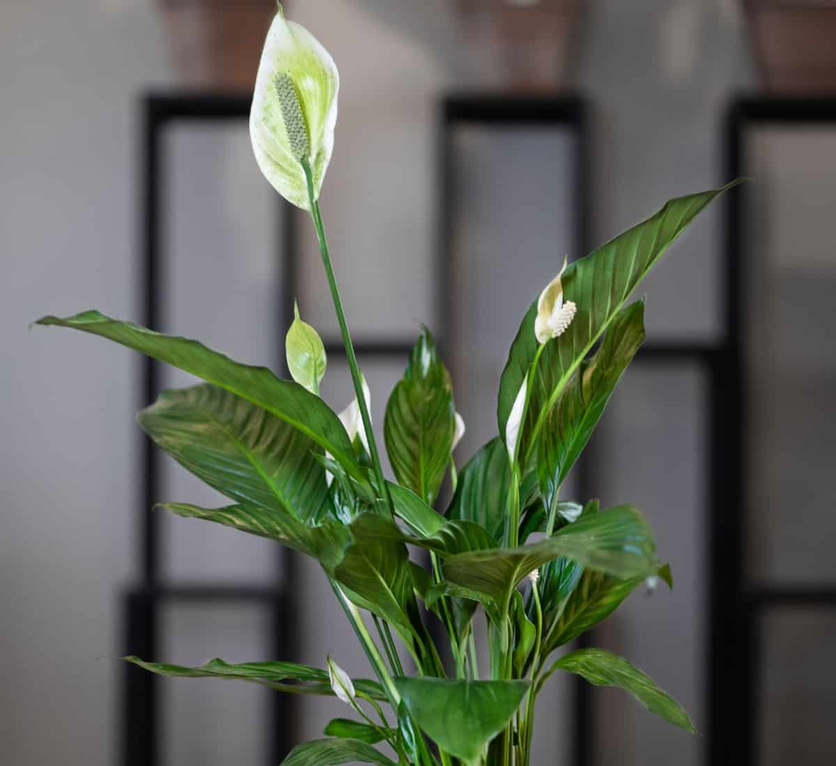 Your peace lily will thrive with damp soil conditions.