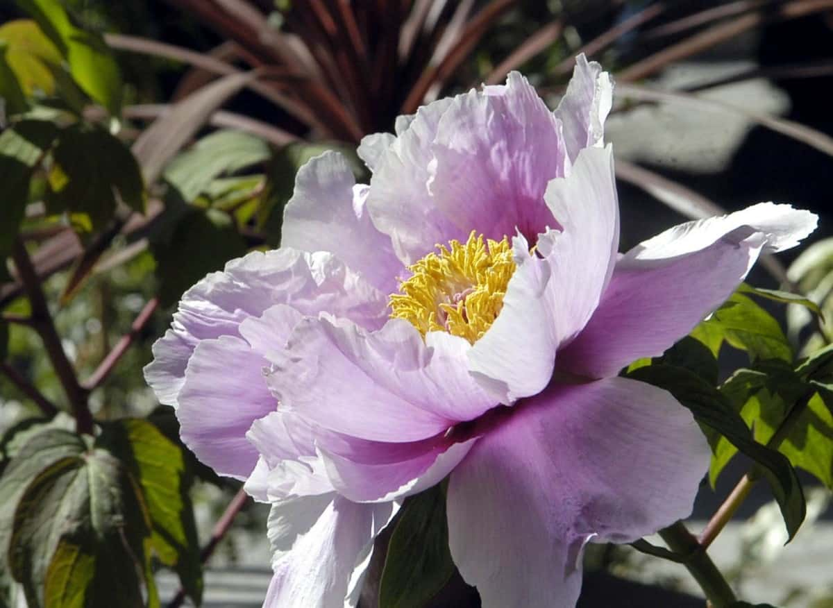 Peonies are attractive shrubs with big blooms.