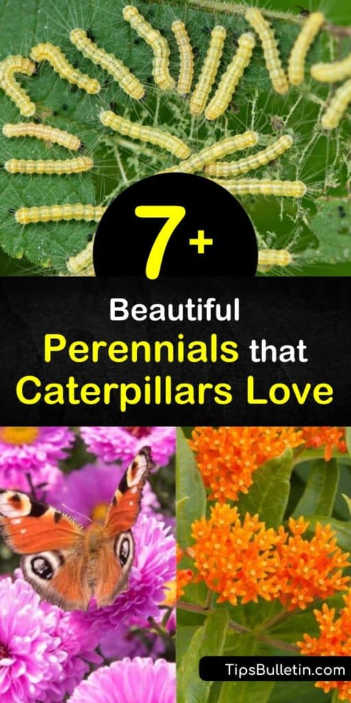 Build your own self-sustaining butterfly garden by planting host and nectar plants like aster, fennel, and spicebush. Species like the black swallowtail, tiger swallowtail, fritillary, and hairstreak butterflies can't resist these vibrant perennials. #perennials #attract #caterpillars