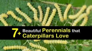 Perennials that Attract Caterpillars titleimg1
