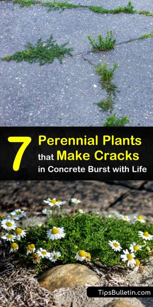 Discover tough perennials to fill in cracks between paving stones or act as edging. Introduce life and color to these empty spaces with pink dianthus, violet campanula, or the white flowers of chamomile. Try thymus for early summer blooms in partial shade. #garden #cracks #perennials #stones