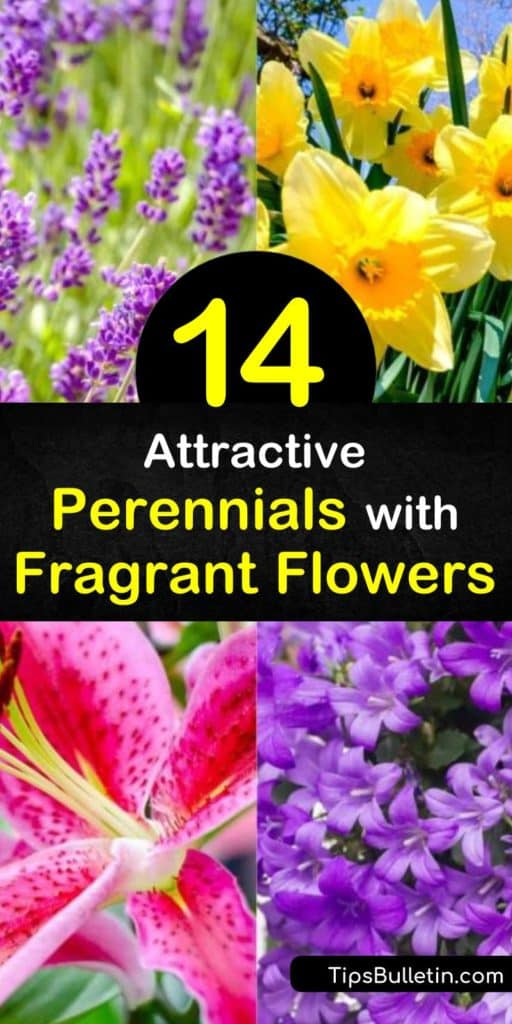 Try incredible perennials with fragrant flowers that smell like citrus, honey, and even chocolate. Incorporate large white flowers like peony and gardenia to add an enveloping aroma to outdoor areas. Plant easy-to-grow phlox for bright-colored, sweet-smelling blooms. #perennials #fragrant #flowers