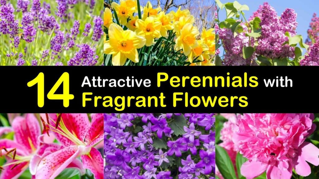 Perennials with Fragrant Flowers titleimg1