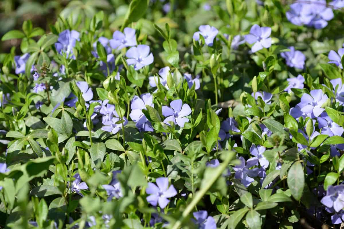 Periwinkle is a popular evergreen plant used for edging.