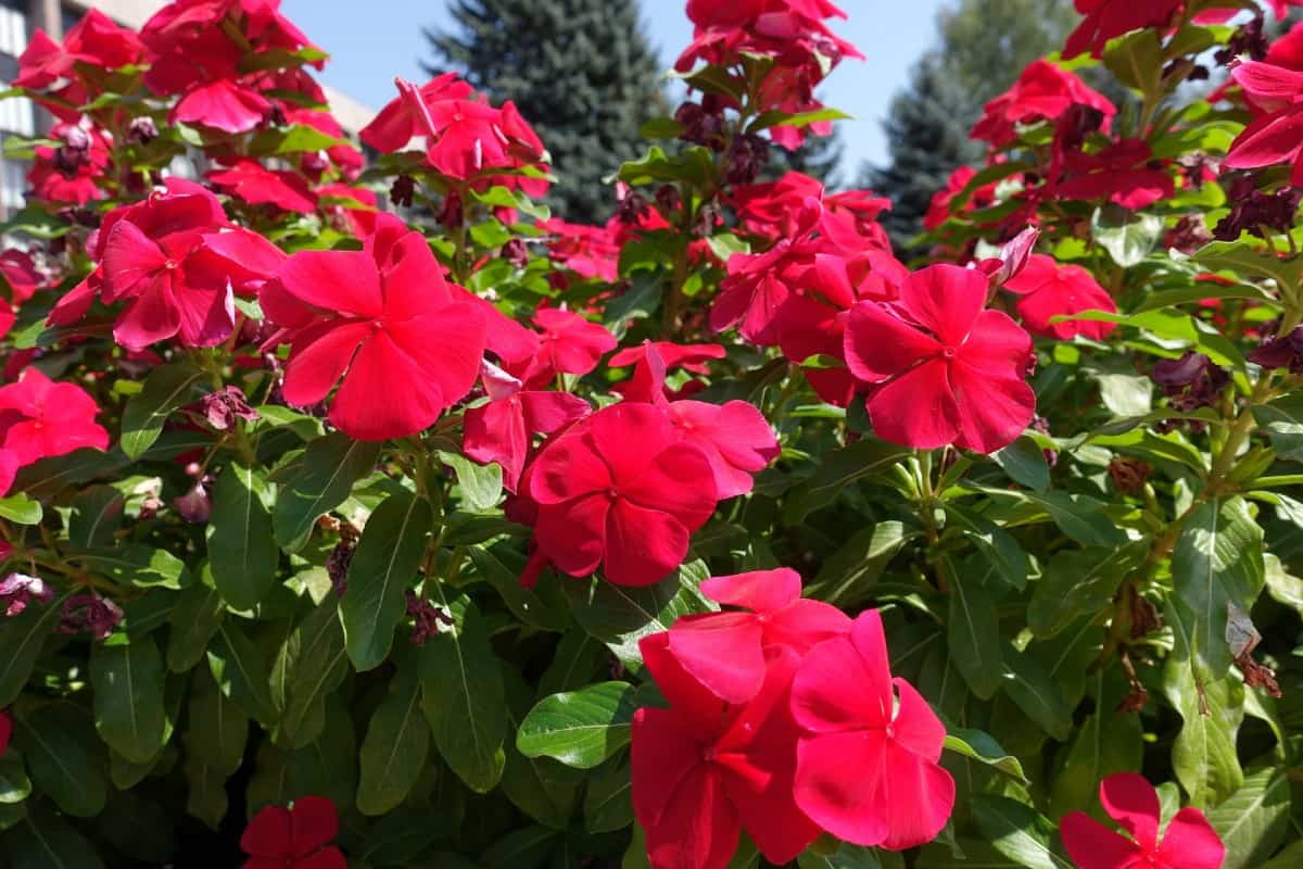 Periwinkle or vinca spreads quickly.