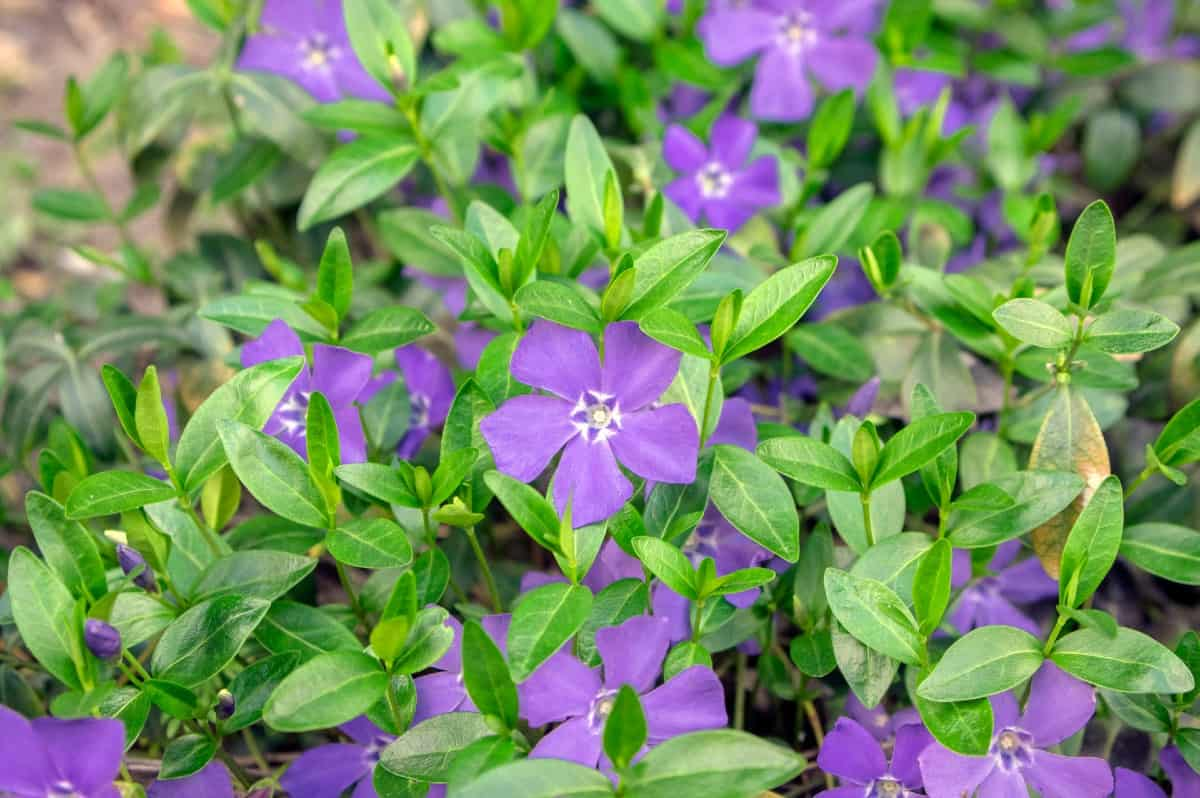 Periwinkle forms a thick mat of vegetation and flowers.