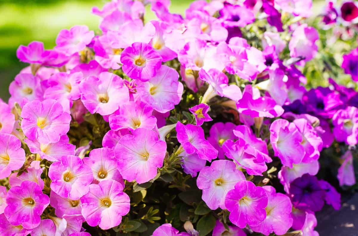 Petunias offer continuous blooms.