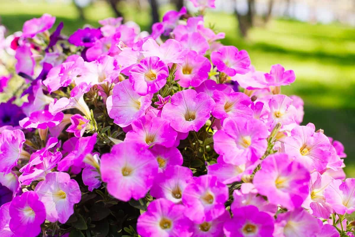 People love the long-blooming time of petunias.