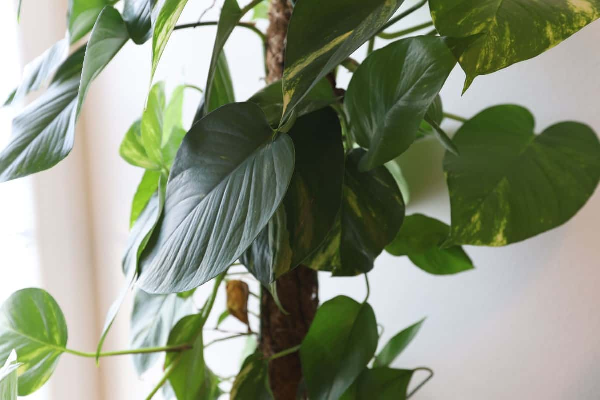 Philodendrons are tropical-looking air cleaners.