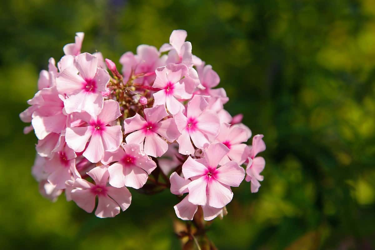 Phlox flowers typically bloom mid-summer.