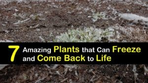 Plants that Regrow After Freezing titleimg1