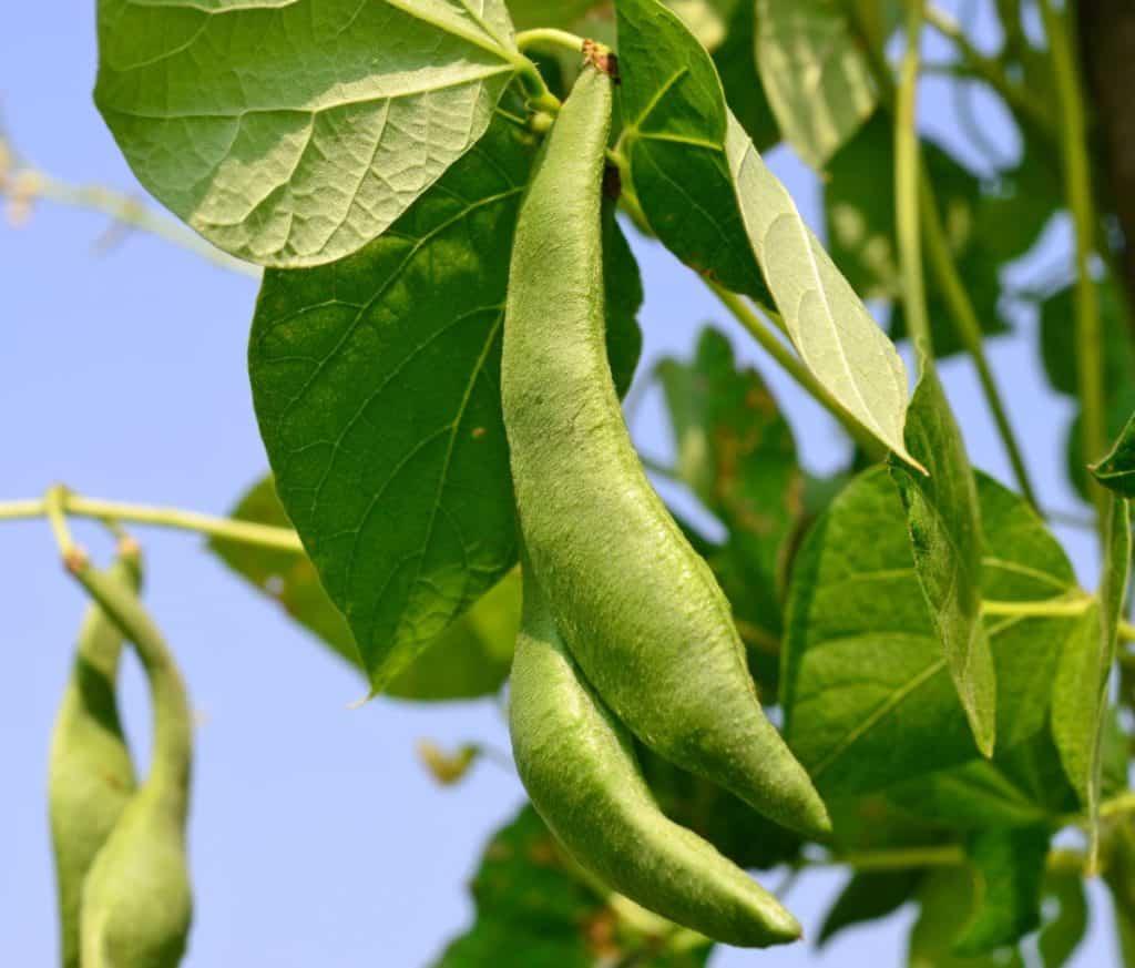 Pole beans grow as vines.
