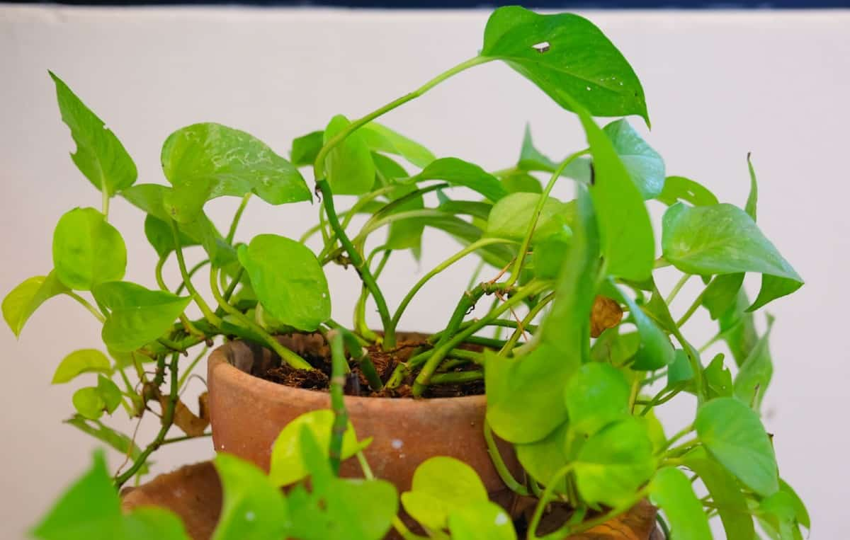 If not trimmed, pothos can grow to 20 feet long.