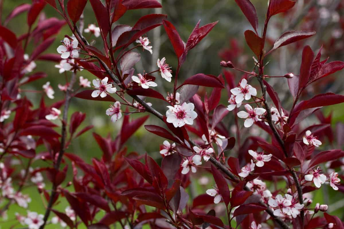 The purple leaf sandcherry is related to roses.