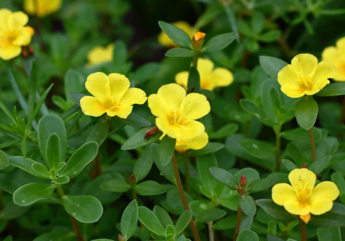 You can cook and eat purslane leaves.