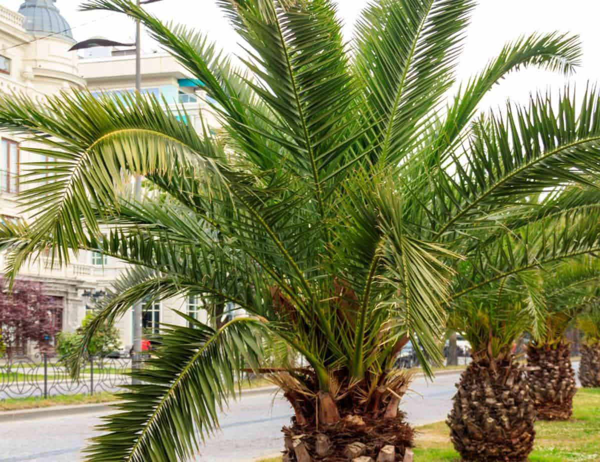 The pygmy date palm is a smaller palm tree that produces purple dates.