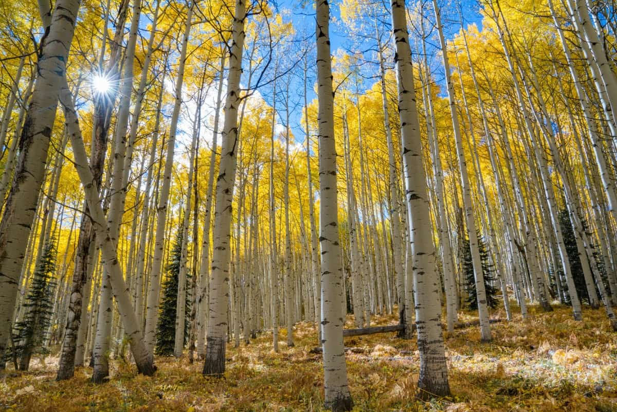 The quaking aspen is a fast-growing tree with yellow fall leaves.