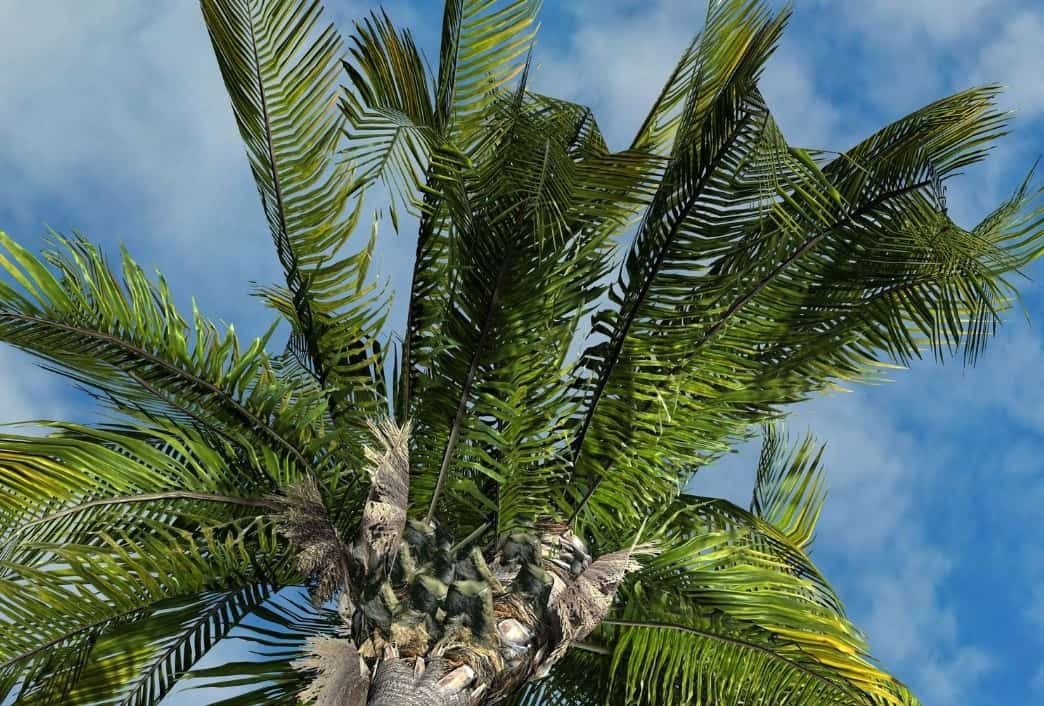 The queen palm produces orange dates.