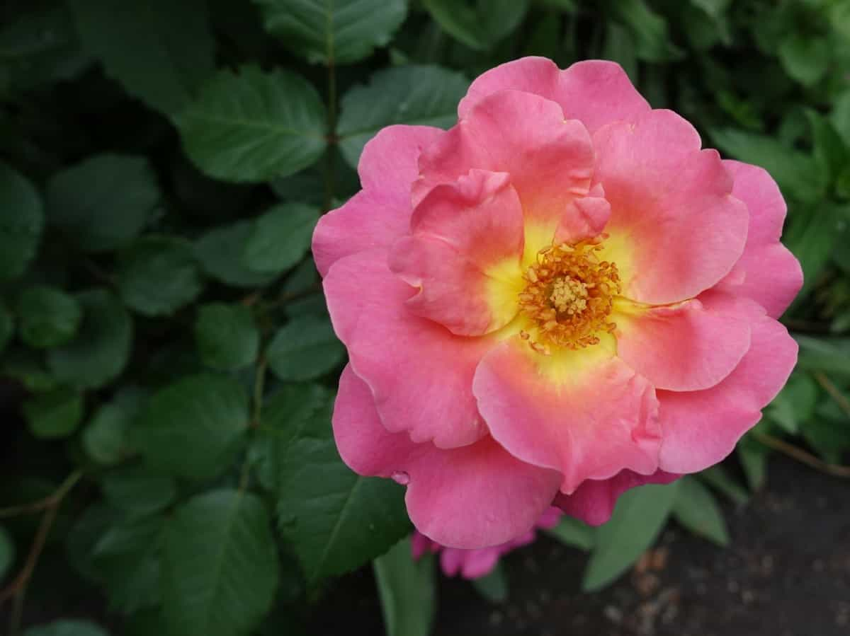 Rainbow knock out roses are compact in size.