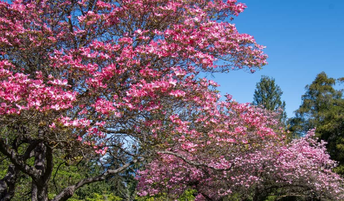 The red dogwood offers four seasons of color.