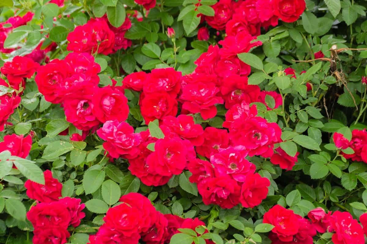 The red drift rose grows 1-2 feet tall.