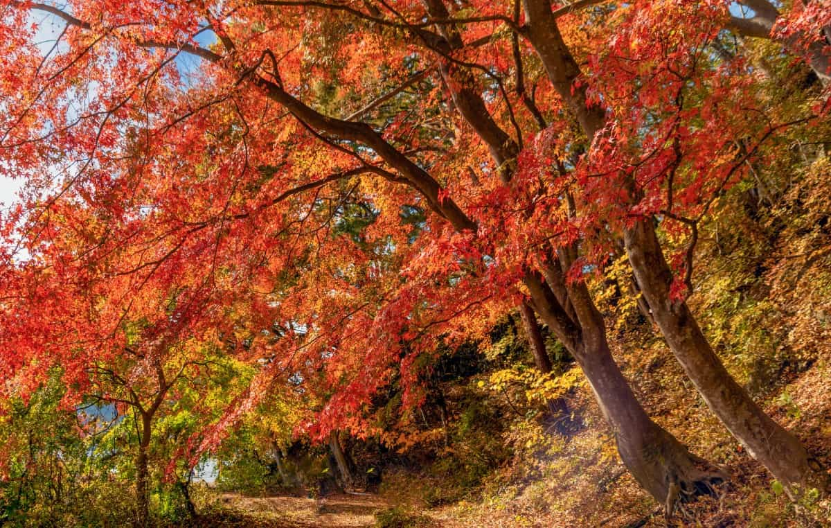 Red maple trees have yellow or red leaves in fall.