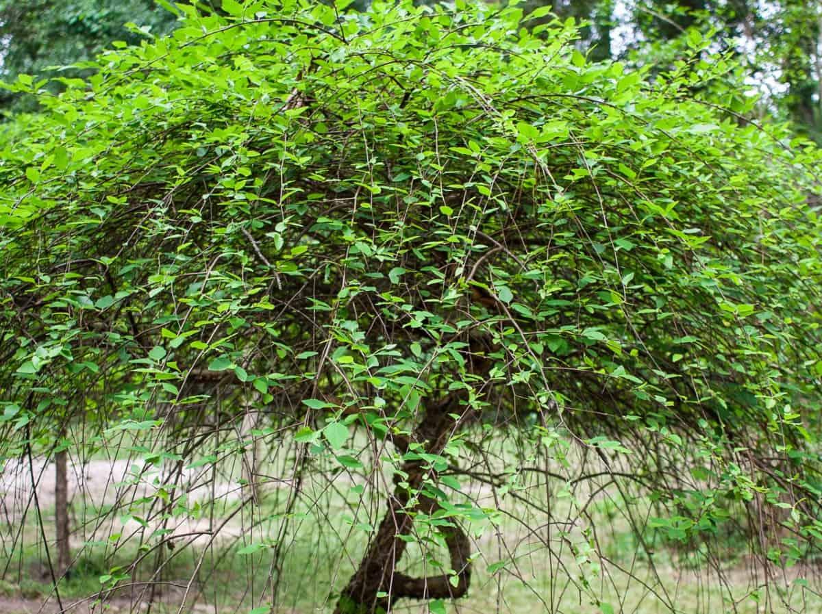 River birch has multiple trunks.