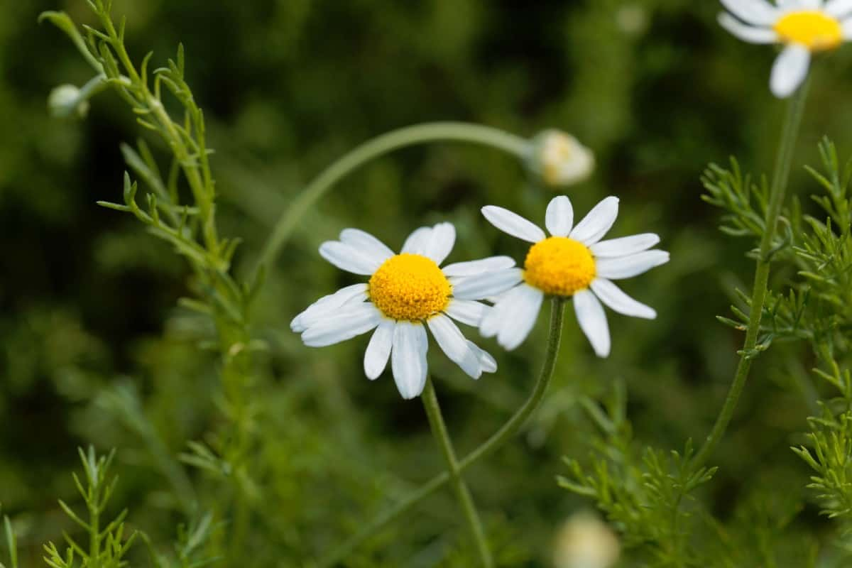 Roman chamomile is an herb that forms a mat on the ground.