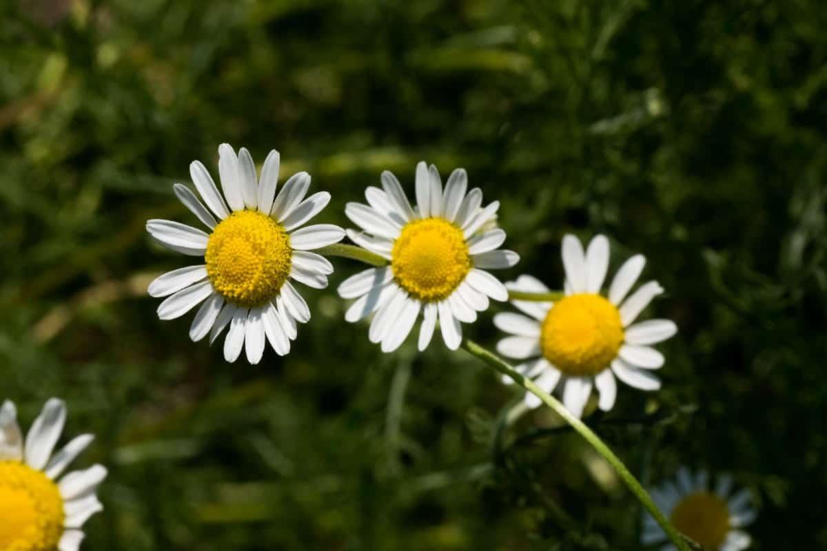 Roman chamomile is a self-seeding perennial herb.