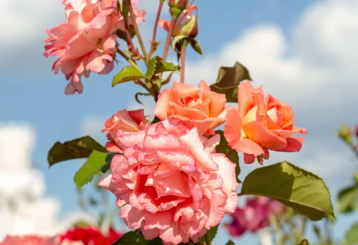 Rosa bonica floribundas are often repeat bloomers.