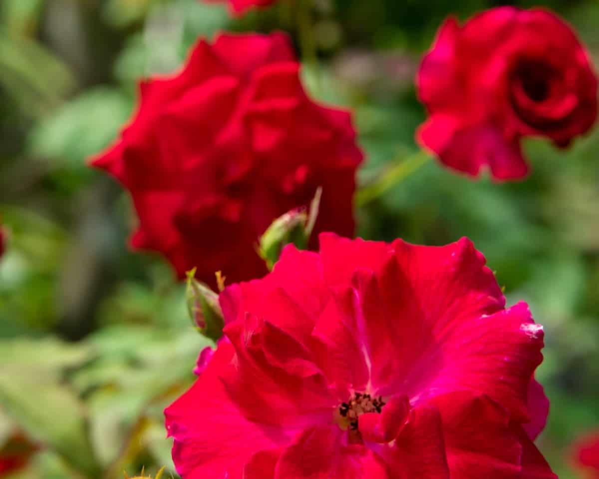Rosa Carmen is a deep red beach rose.