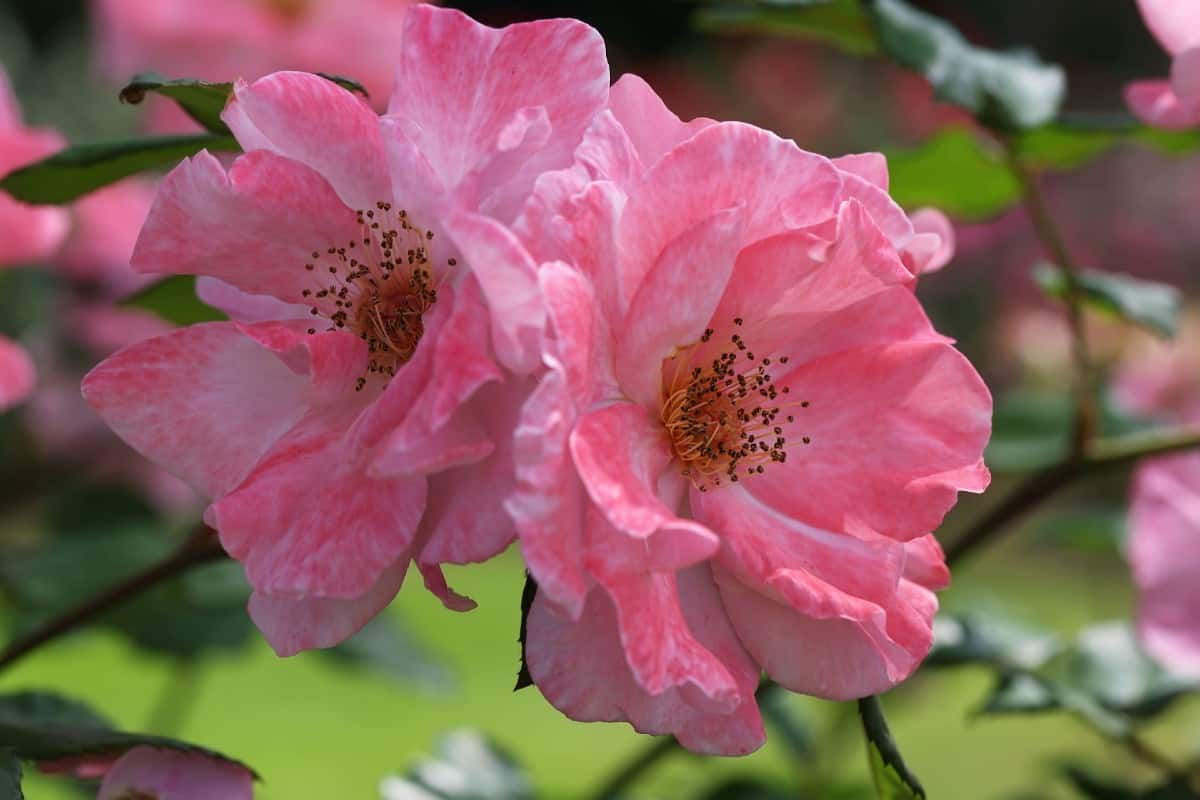 You can find large double flowers on the Rosa Hansa bush.